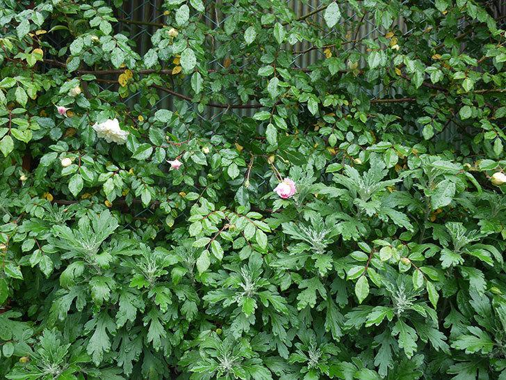 フランソワ・ジュランヴィル(ツルバラ)が咲いた。2017年-6.jpg
