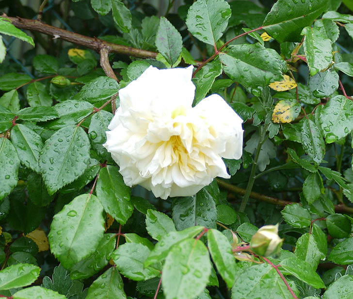 フランソワ・ジュランヴィル(ツルバラ)が咲いた。2017年-8.jpg