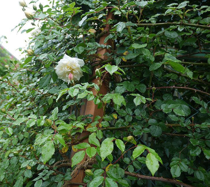 フランソワ・ジュランヴィル(ツルバラ)が咲いた。2017年-9.jpg
