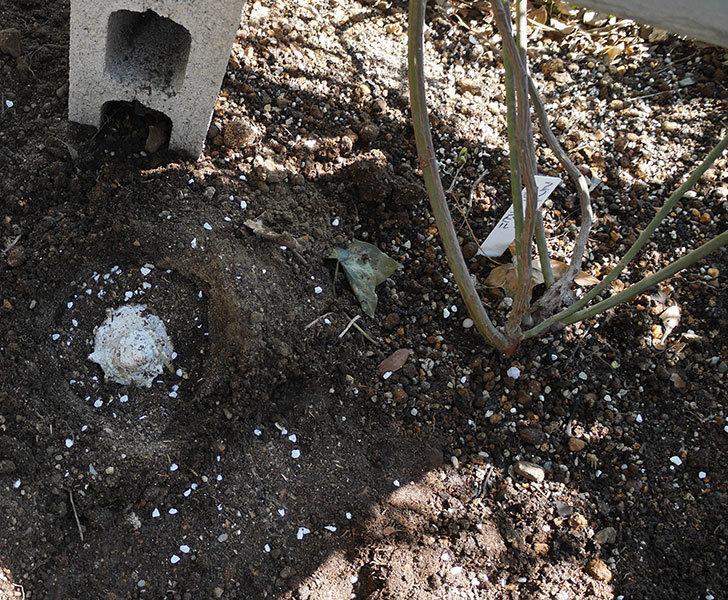 フランソワ・ジュランヴィル(ツルバラ)に寒肥を施した。2019年-4.jpg