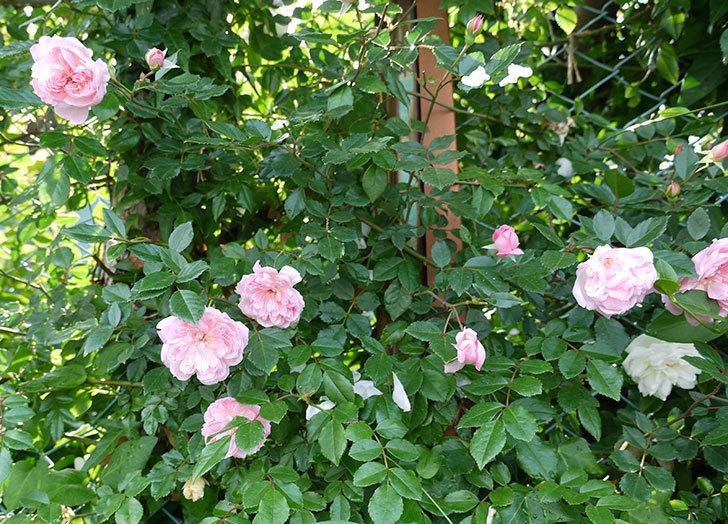 フランソワ・ジュランヴィル(ツルバラ)の花がそろそろ終わる。2017年-1.jpg