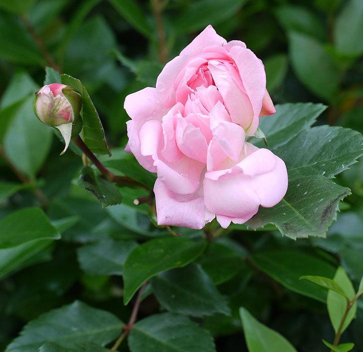 フランソワ・ジュランヴィル(ツルバラ)の花がそろそろ終わる。2017年-11.jpg