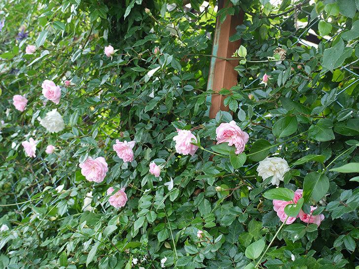 フランソワ・ジュランヴィル(ツルバラ)の花がそろそろ終わる。2017年-13.jpg