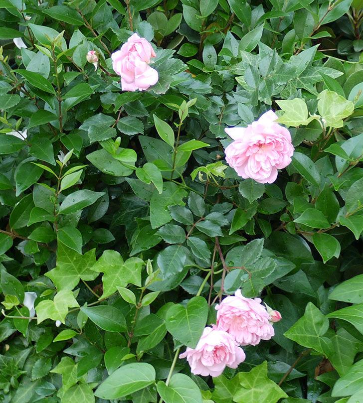 フランソワ・ジュランヴィル(ツルバラ)の花がそろそろ終わる。2017年-3.jpg