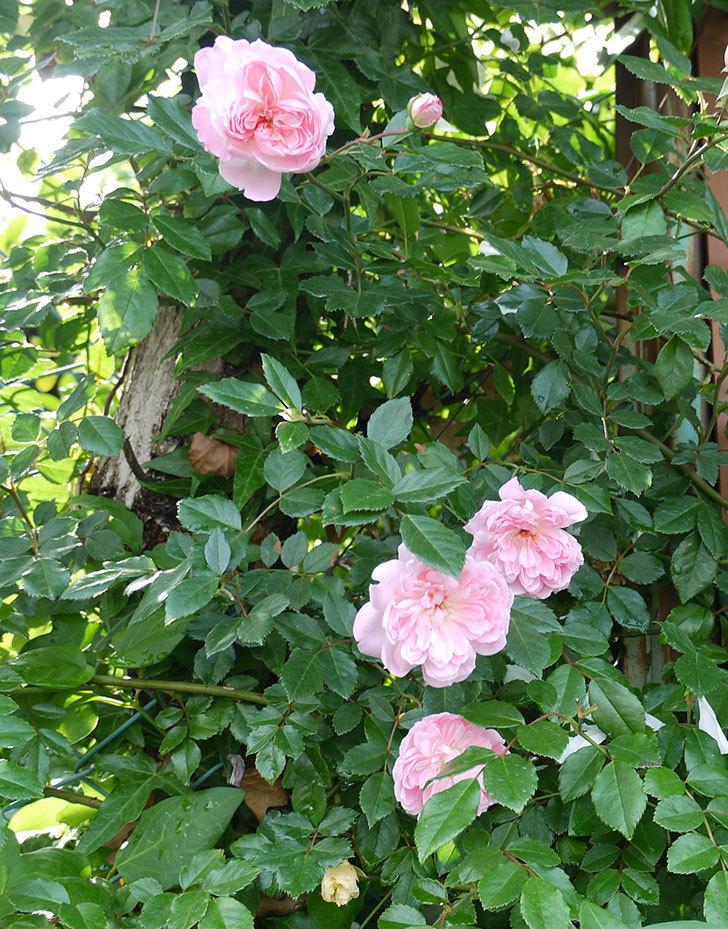 フランソワ・ジュランヴィル(ツルバラ)の花がそろそろ終わる。2017年-4.jpg