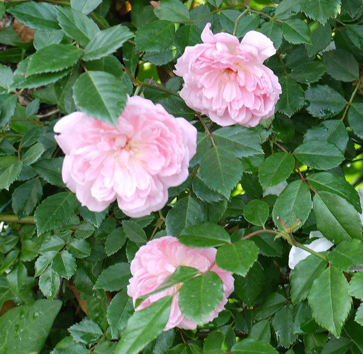 フランソワ・ジュランヴィル(ツルバラ)の花がそろそろ終わる。2017年-6.jpg