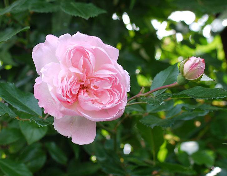 フランソワ・ジュランヴィル(ツルバラ)の花がそろそろ終わる。2017年-7.jpg