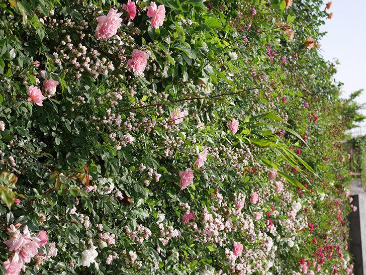 フランソワ・ジュランヴィル(ツルバラ)の花がたくさん咲いた。2020年-4.jpg