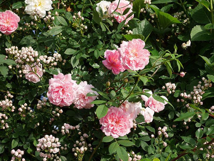 フランソワ・ジュランヴィル(ツルバラ)の花がたくさん咲いた。2020年-5.jpg
