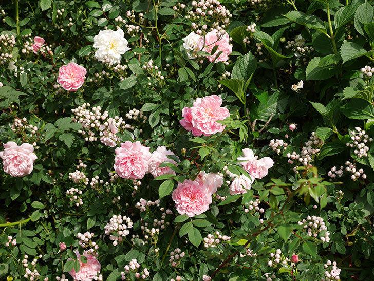 フランソワ・ジュランヴィル(ツルバラ)の花がたくさん咲いた。2020年-6.jpg