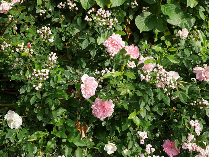 フランソワ・ジュランヴィル(ツルバラ)の花がたくさん咲いた。2020年-7.jpg