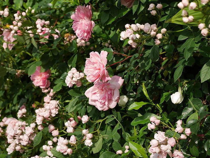 フランソワ・ジュランヴィル(ツルバラ)の花がたくさん咲いた。2020年-8.jpg