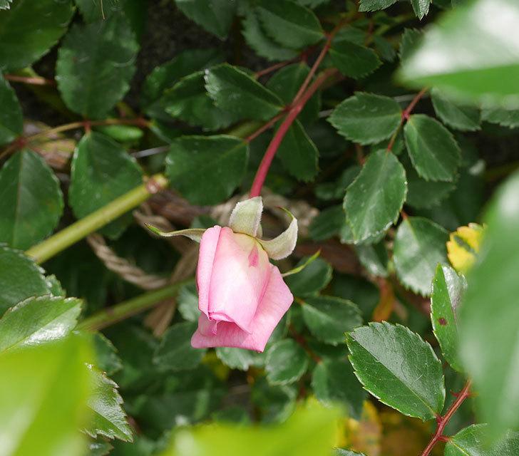 フランソワ・ジュランヴィル(ツルバラ)の花がもうすぐ咲く。2020年-2.jpg