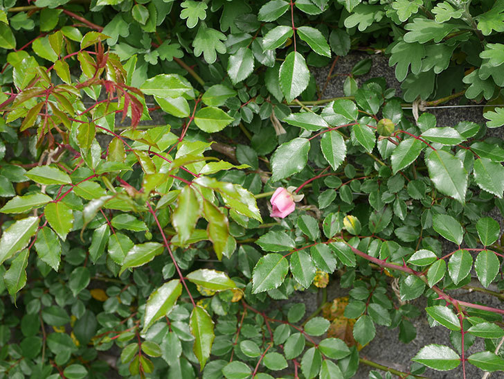 フランソワ・ジュランヴィル(ツルバラ)の花がもうすぐ咲く。2020年-4.jpg