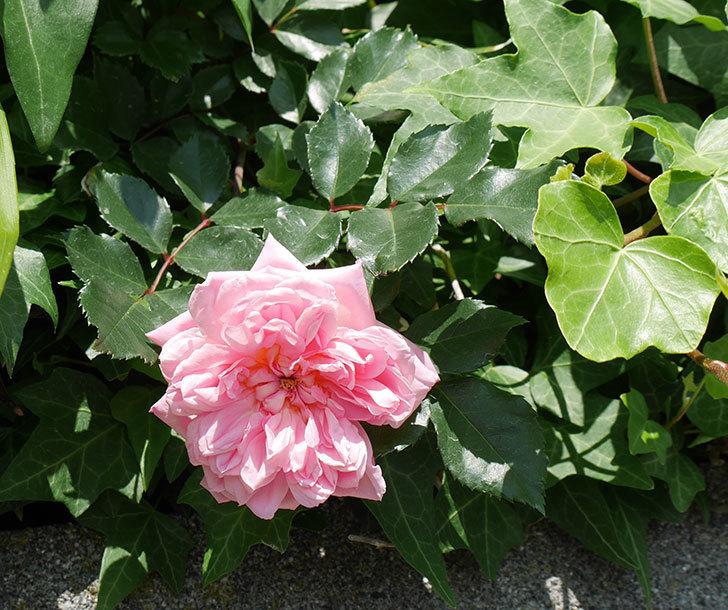 フランソワ・ジュランヴィル(ツルバラ)の花が咲いた。2018年-1.jpg