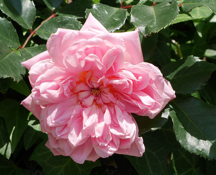 フランソワ・ジュランヴィル(ツルバラ)の花が咲いた。2018年-2.jpg