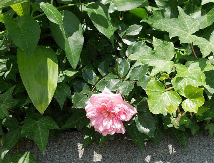 フランソワ・ジュランヴィル(ツルバラ)の花が咲いた。2018年-3.jpg
