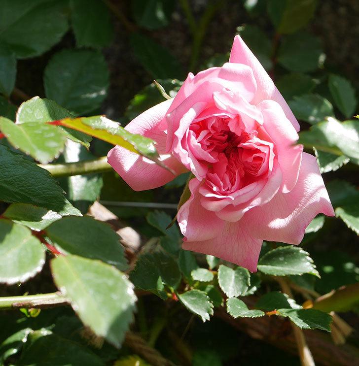 フランソワ・ジュランヴィル(ツルバラ)の花が咲いた。2020年-1.jpg