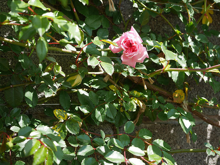 フランソワ・ジュランヴィル(ツルバラ)の花が咲いた。2020年-2.jpg