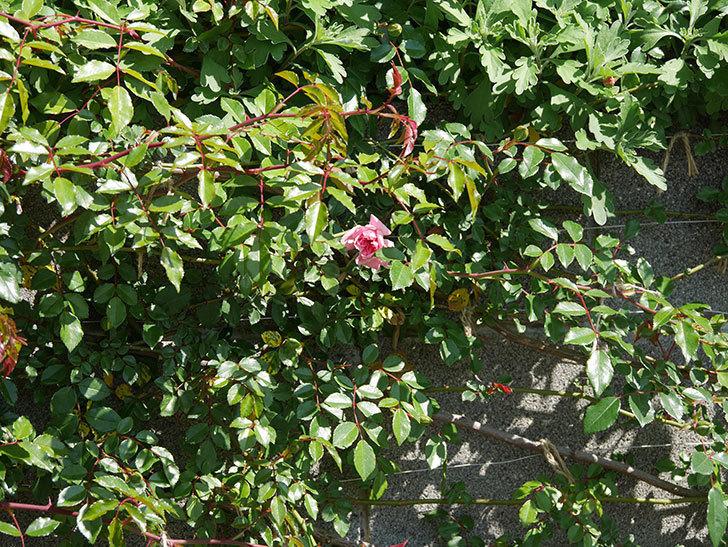 フランソワ・ジュランヴィル(ツルバラ)の花が咲いた。2020年-6.jpg