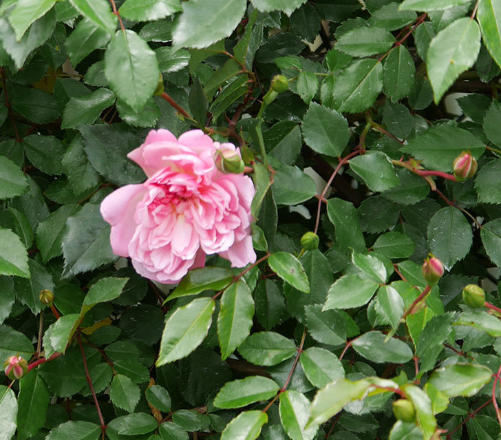 フランソワ・ジュランヴィル(ツルバラ)の花が咲きだした。2019年-3.jpg