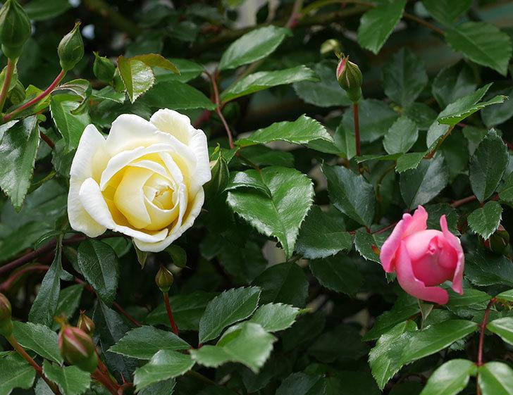 フランソワ・ジュランヴィル(ツルバラ)の花が咲きだした。2019年-5.jpg