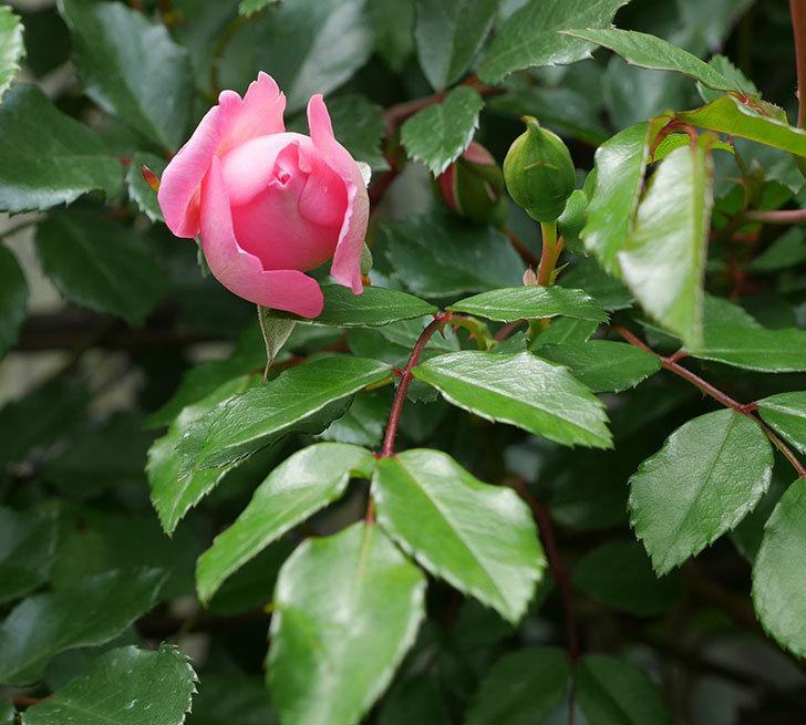フランソワ・ジュランヴィル(ツルバラ)の花が咲きだした。2019年-6.jpg