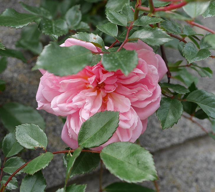 フランソワ・ジュランヴィル(ツルバラ)の花が咲きだした。2019年-7.jpg