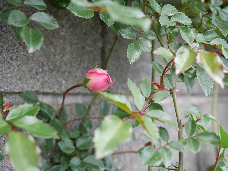 フランソワ・ジュランヴィル(ツルバラ)の花が咲きだした。2019年-8.jpg
