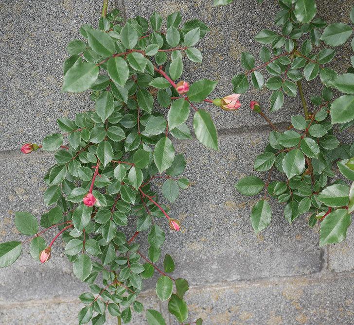 フランソワ・ジュランヴィル(ツルバラ)の花が咲きだした。2019年-9.jpg