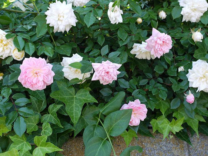 フランソワ・ジュランヴィル(ツルバラ)の花が増えてきた。2017年-1.jpg