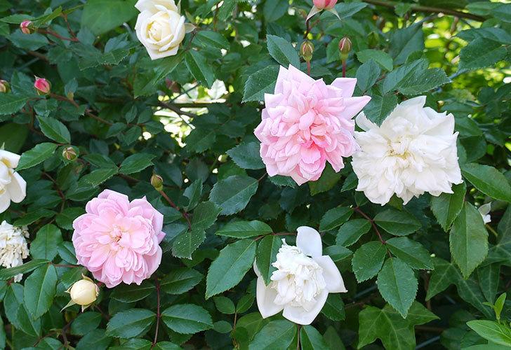 フランソワ・ジュランヴィル(ツルバラ)の花が増えてきた。2017年-2.jpg