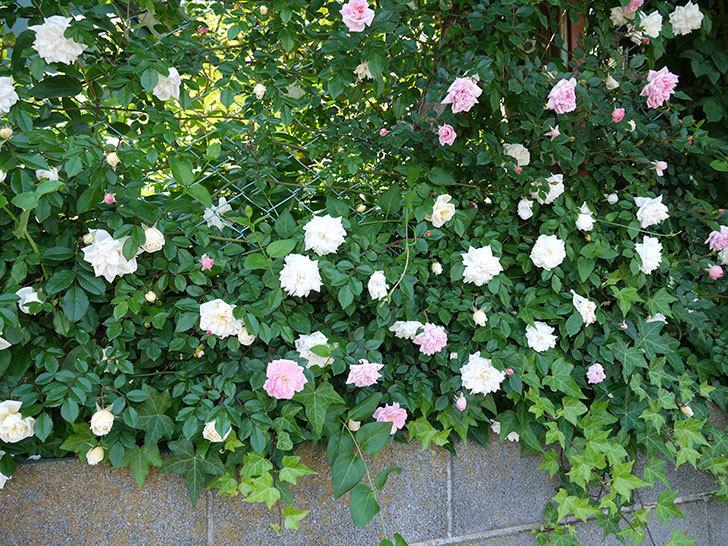 フランソワ・ジュランヴィル(ツルバラ)の花が増えてきた。2017年-3.jpg