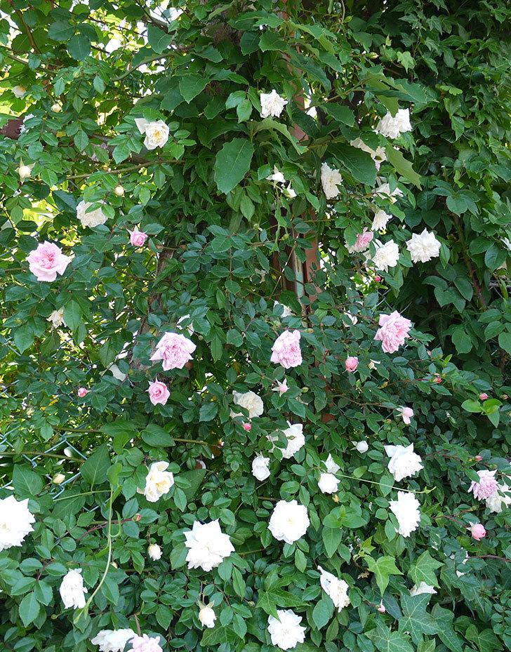 フランソワ・ジュランヴィル(ツルバラ)の花が増えてきた。2017年-4.jpg