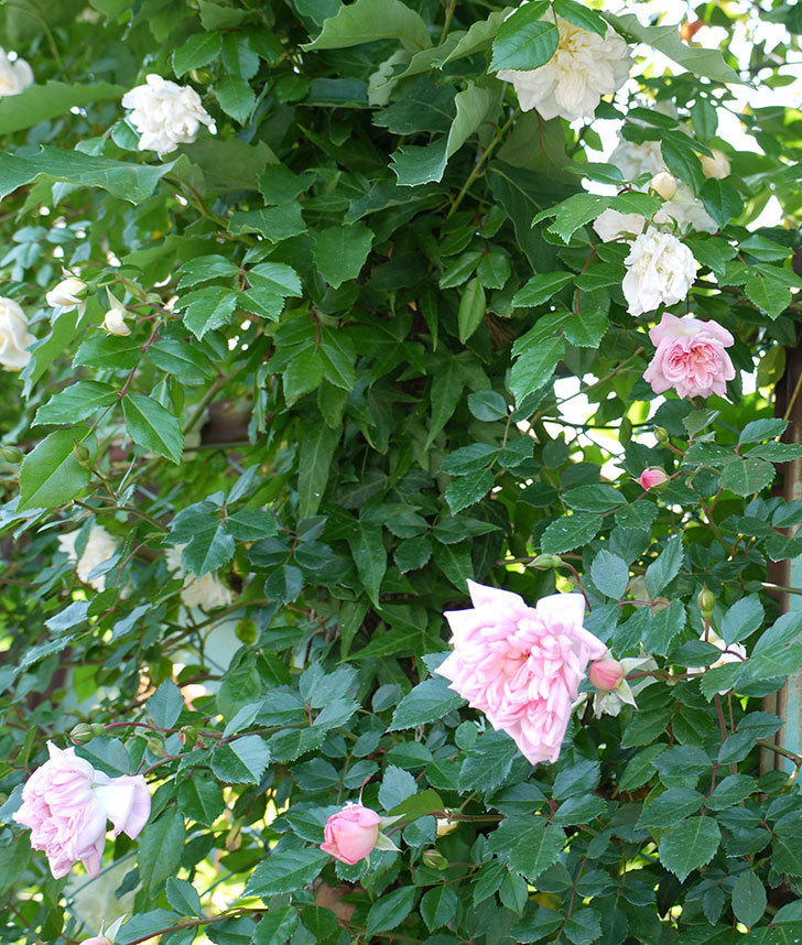 フランソワ・ジュランヴィル(ツルバラ)の花が増えてきた。2017年-5.jpg