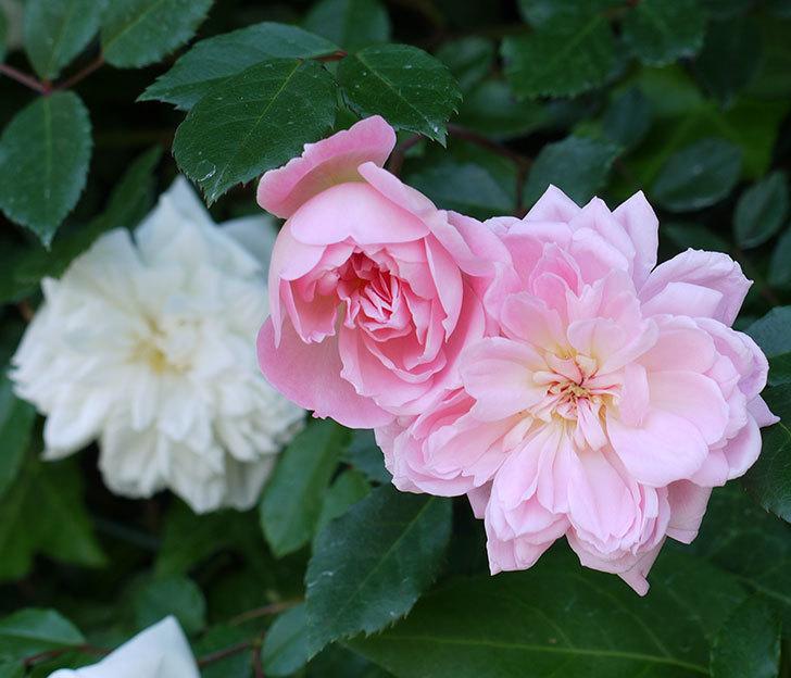 フランソワ・ジュランヴィル(ツルバラ)の花が増えてきた。2017年-6.jpg