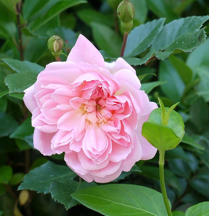 フランソワ・ジュランヴィル(ツルバラ)の花が増えてきた。2017年-7.jpg