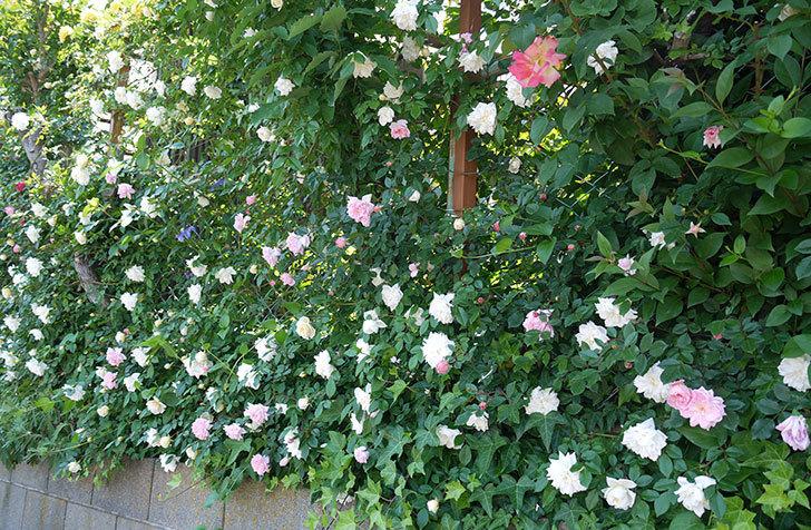 フランソワ・ジュランヴィル(ツルバラ)の花が増えてきた。2017年-8.jpg