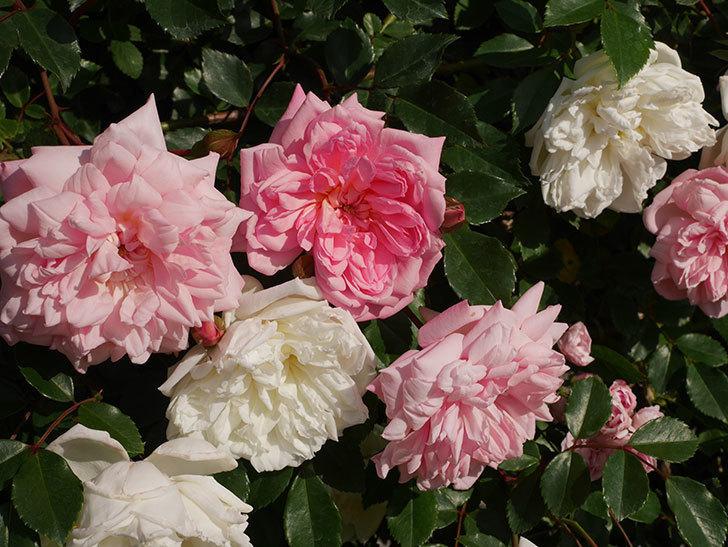 フランソワ・ジュランヴィル(ツルバラ)の花が増えてきた。2020年-1.jpg