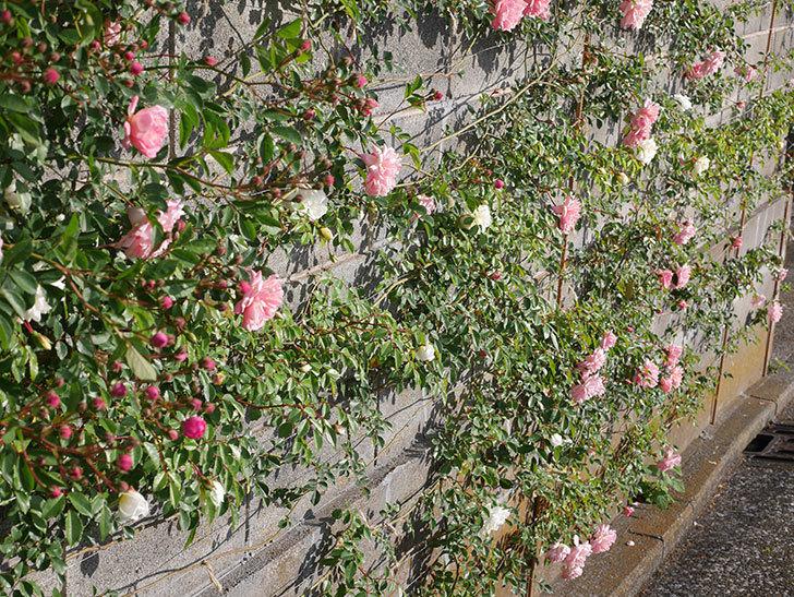 フランソワ・ジュランヴィル(ツルバラ)の花が増えてきた。2020年-10.jpg