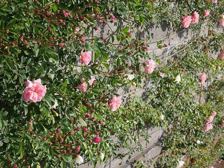 フランソワ・ジュランヴィル(ツルバラ)の花が増えてきた。2020年-11.jpg