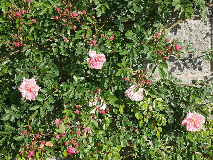 フランソワ・ジュランヴィル(ツルバラ)の花が増えてきた。2020年-12.jpg