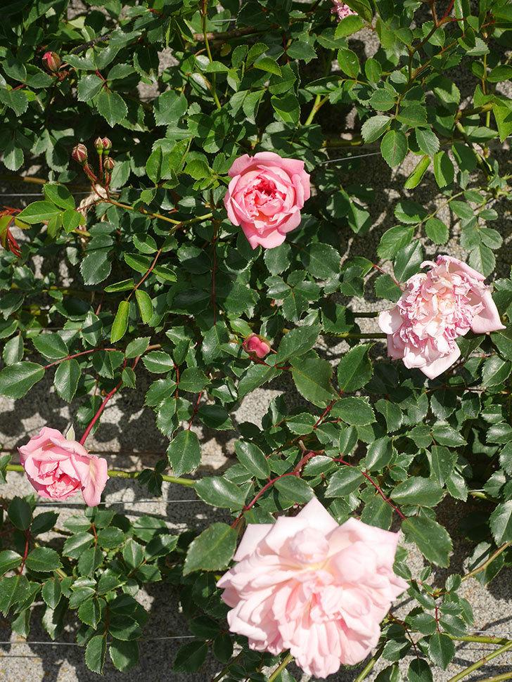 フランソワ・ジュランヴィル(ツルバラ)の花が増えてきた。2020年-13.jpg