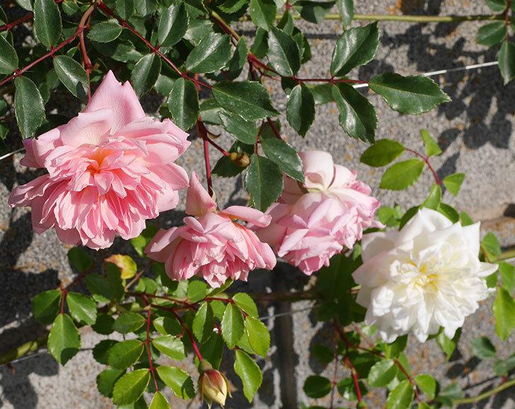 フランソワ・ジュランヴィル(ツルバラ)の花が増えてきた。2020年-14.jpg