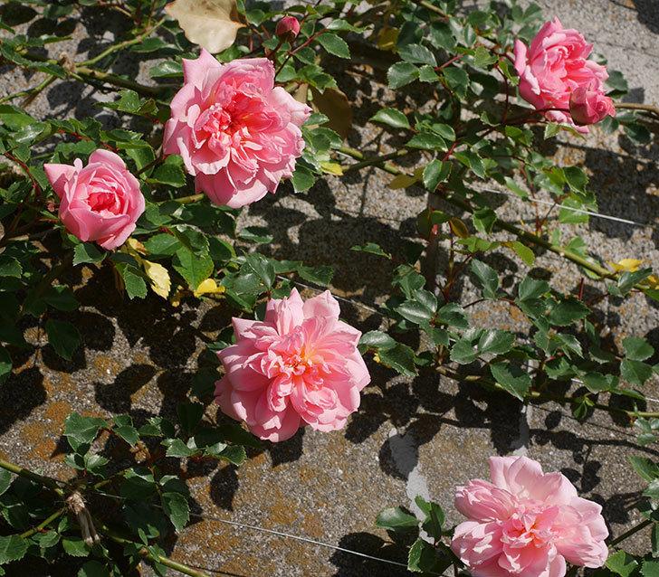 フランソワ・ジュランヴィル(ツルバラ)の花が増えてきた。2020年-15.jpg