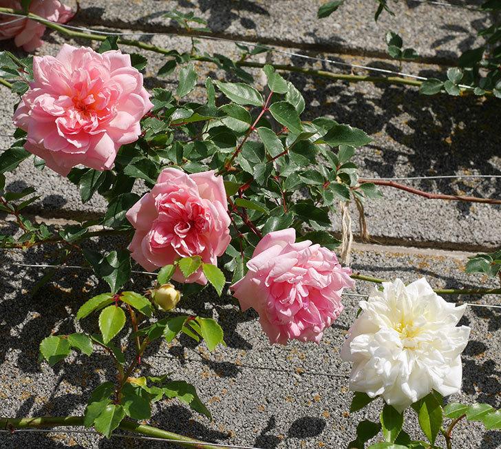 フランソワ・ジュランヴィル(ツルバラ)の花が増えてきた。2020年-16.jpg