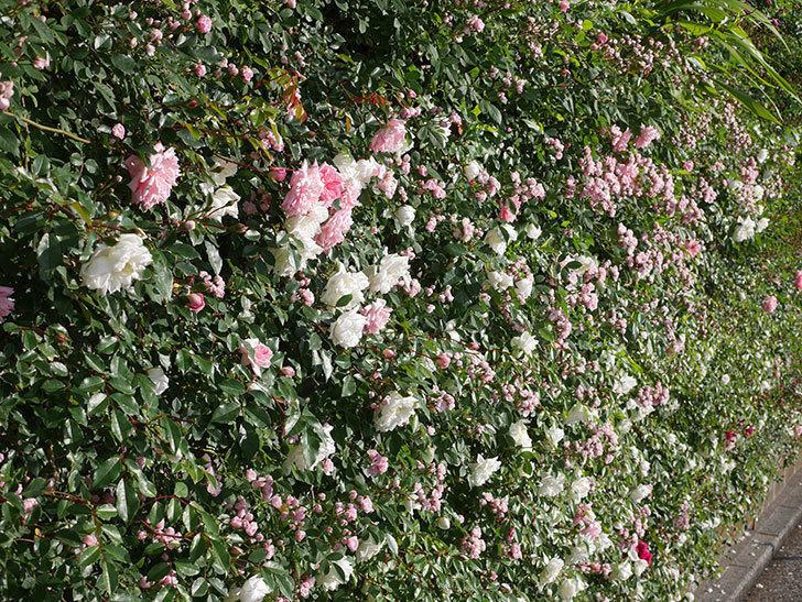 フランソワ・ジュランヴィル(ツルバラ)の花が増えてきた。2020年-2.jpg