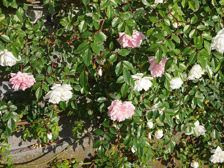 フランソワ・ジュランヴィル(ツルバラ)の花が増えてきた。2020年-3.jpg