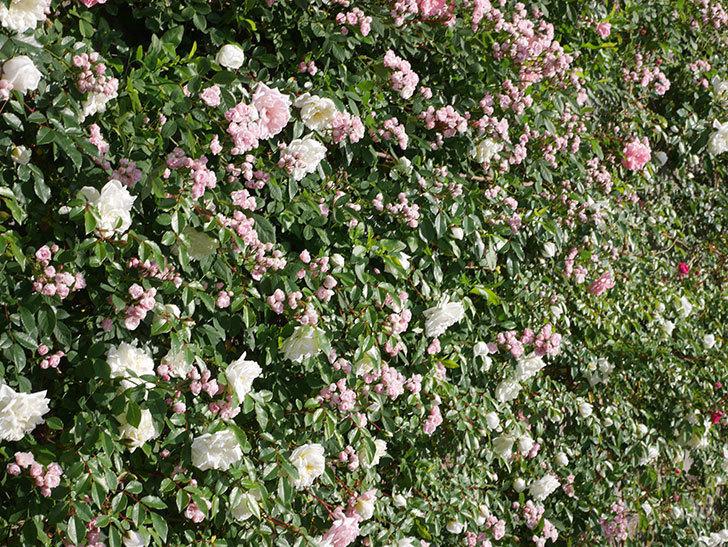 フランソワ・ジュランヴィル(ツルバラ)の花が増えてきた。2020年-4.jpg