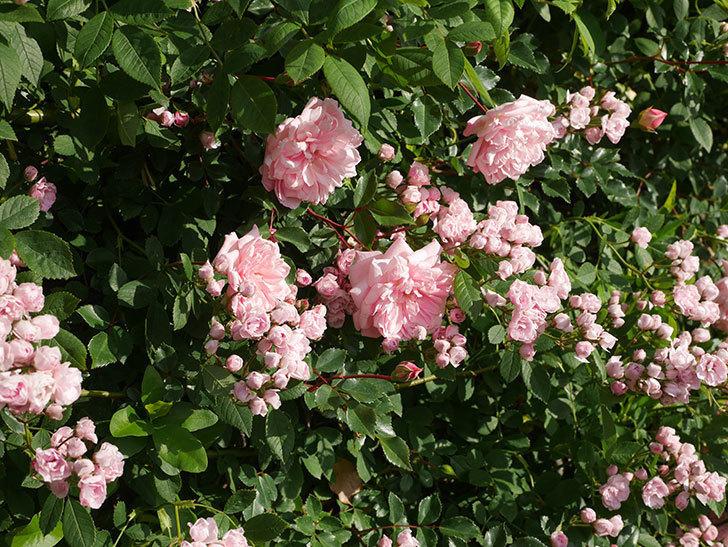 フランソワ・ジュランヴィル(ツルバラ)の花が増えてきた。2020年-5.jpg